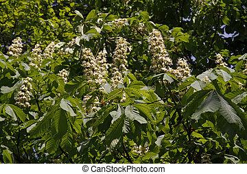 Horse Chestnut - Aesculus hippocastanum