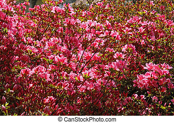 Rhododendron, Japanese Azaleas in spring, Germany, Europe