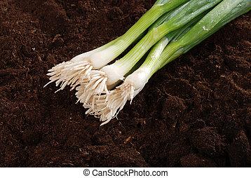 Spring onions in garden soil