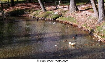 View Of Pond With Ducks - Video clip of the beautiful pond...