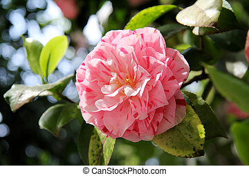 Featured pink camellia - camellia pink, green leaves in the...