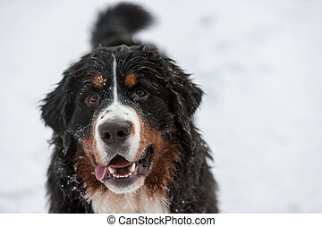 Winter Dog in snow - Close-up - Bernese Mountain Dog Puppy...