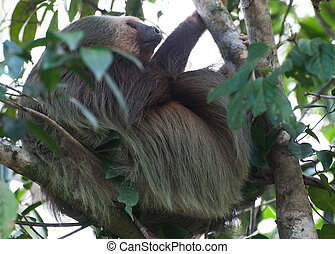 Two-Toed Sloth (Choloepus didactylus) Sleeping in Tree,...