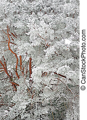 Pine tree with rime frost