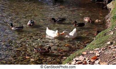 Noisy Ducks In The Pond - Video clip of noisy ducks in the...
