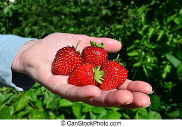 Fruits and Vegetables - Garden Strawberry - Closeup of fresh...