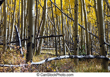 Thick Aspen Forest in the Colorado Rockies