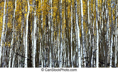 Vertical Aspen Tree Trunks In Dense Colorado Forest
