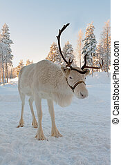 Christmas reindeer - White Christmas deer in the background...