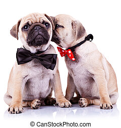 adorable pug puppy dogs couple - lady mops puppy whispering...