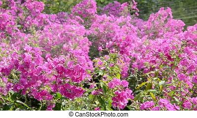watering colorful summer flowers