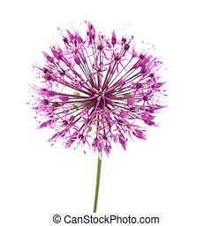 decorative allium flowerhead isolated on white