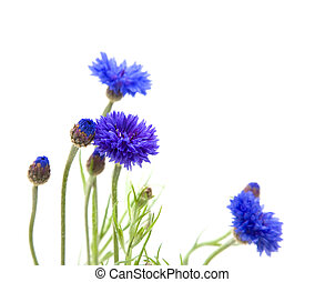 bunch on cornflowers Centaurea cyanus; Bachelors button;...