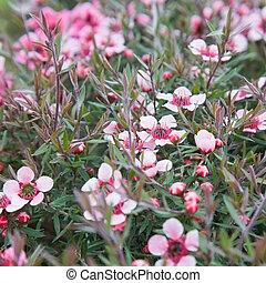 flowering Leptospermum scoparium (Manuka or Tea tree)...