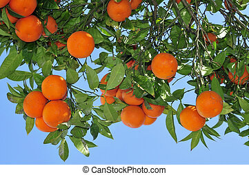 orange tree - closeup of an orange tree full of fruits
