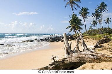 driftwood coconut palm trees undeveloped beach Content Point...