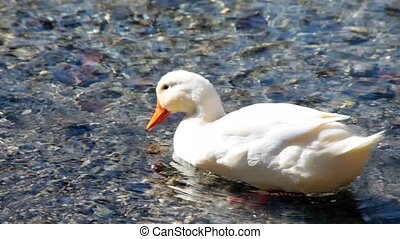 White Duck Cleaning Itself