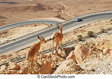 Ibexes on the cliff above the highway. - Two ibexes stand on...