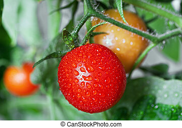 Growing tomatoes - Closeup of tomatoes still growing on the...