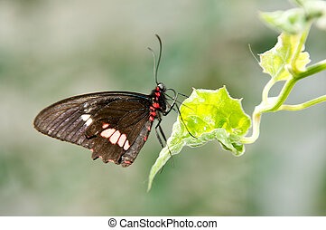 Common Rose Butterfly with wings closed up.