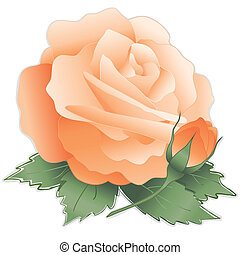 Apricot Rose Flower - Old fashioned apricot rose flower,...