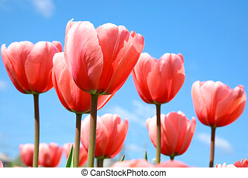 Beautiful pink spring tulips on blue sky