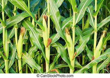 Corn - Closeup view of corn stalks on a farm in Central...