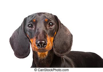 Dachshund Dog on isolated white