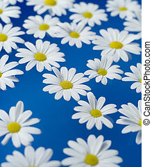 Oxeye Daisy - Group of Oxeye Daisy on blue background
