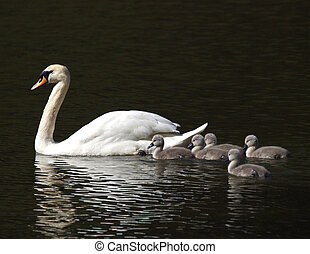 Swan ans Cygnets - Swan and cygnets on water