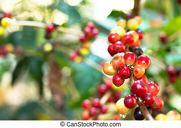 coffee tree with ripening - coffee tree with ripe berries on...