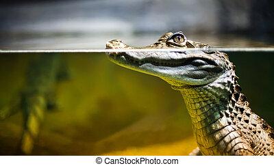 Kajman,  crocodilus