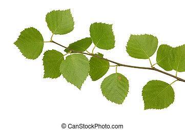 Branch of a birch