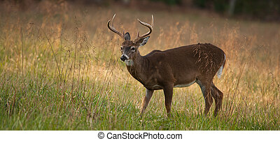 panoramic Deer - Panoramic image of a buck standing in a...