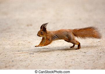 大約, 跑, 松鼠