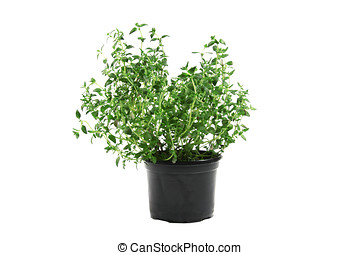 Potted thyme isolated on white background