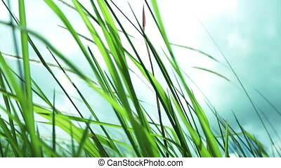 Lalang Field - Imperata Arundinacea - Close up video of...