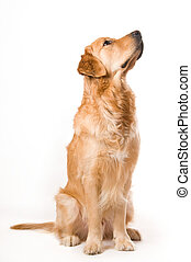 Golden Retriever - Portrait of a Golden Retriever with White...