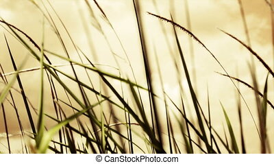 Lalang Field - Imperata Arundinacea - Camera pan close up of...
