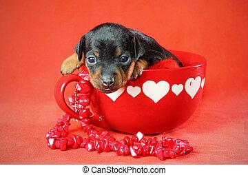 miniatura, Pinscher, Filhote cachorro