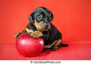 Miniature Pinscher Puppy - The Miniature Pinscher puppy, 3...