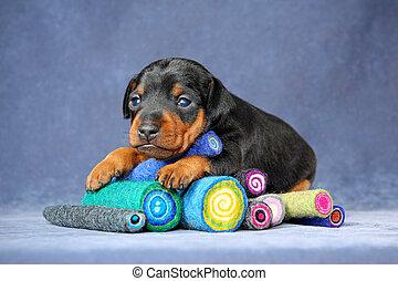 Miniature Pinscher Puppy - The Miniature Pinscher puppy, 3...