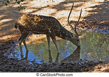 A graceful deer on a watering place - Magnificent animals in...