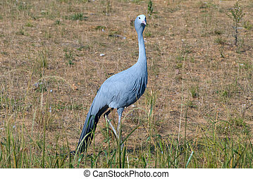 Blue Crane Bird in Field - Blue Crane bird or Anthropoides...