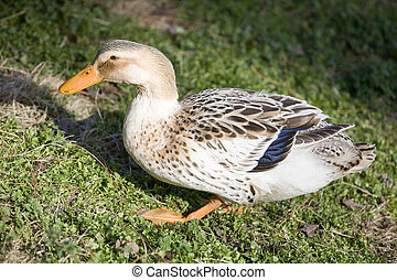 Webbed feet - Duck that is waddling across the grass with...