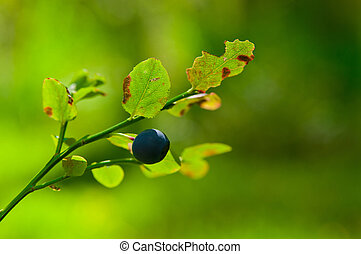 bilberry - Bush of a bilberry in a wood in a sunny day