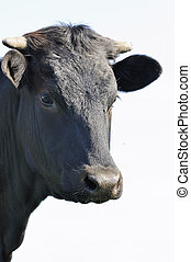 Black bull - Portrait of a young Black bull