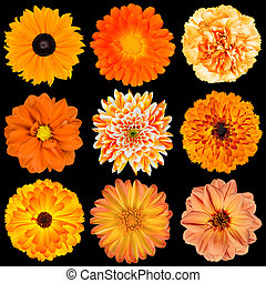 Selection of Various Orange Flowers Isolated on Black...