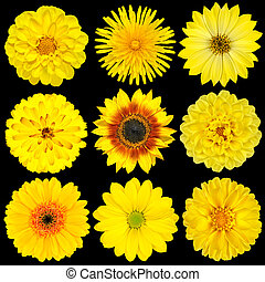 Selection of Yellow Flowers Isolated on Black Background....