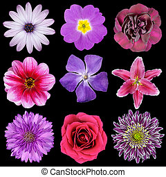 Various Pink, Purple, Red Flowers Isolated on Black